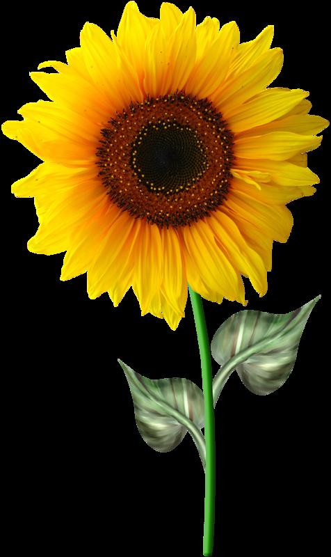 Tubes fleurs page 32 - Dessin de tournesol ...